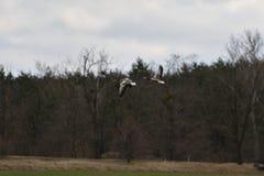 Flock av bönagåsen som flyger över det gröna fältet royaltyfri foto