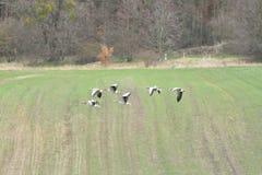 Flock av bönagåsen som flyger över det gröna fältet fotografering för bildbyråer