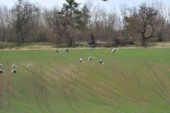 Flock av bönagåsen som flyger över det gröna fältet royaltyfri bild