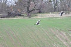 Flock av bönagåsen som flyger över det gröna fältet arkivbilder