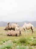 Flock av Bactrian kamel Royaltyfria Foton