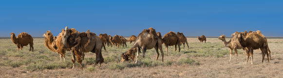 Flock av Bactrian kamel & x28; Camelusbactrianus& x29; arkivbilder