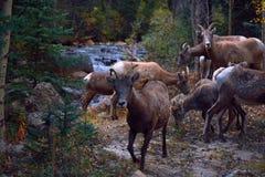 Flock av bergsfår vid en flod Royaltyfria Foton