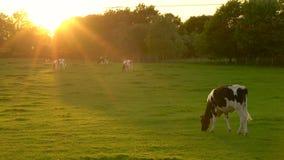 Flock av betande ätagräs för svartvita kor i ett fält på en lantgård på solnedgången eller soluppgång