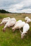 Flock av betande får fotografering för bildbyråer