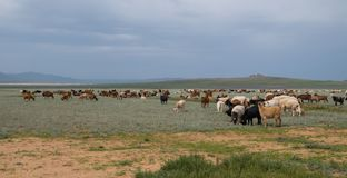 Flock av betande får och getter arkivfoton