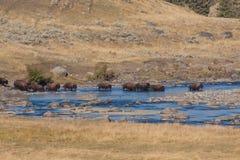 Flock av Bison Crossing River royaltyfri bild