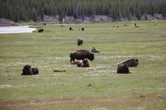 Flock av bisonen arkivfoto