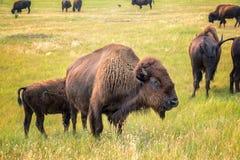 Flock av bisonen fotografering för bildbyråer