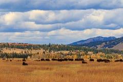 Flock av bisonen i nedgång arkivbild