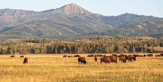Flock av bisonen i slättarna i den storslagna Teton medborgaren royaltyfria foton
