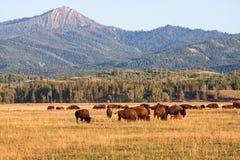 Flock av bisonen som betar i slättarna royaltyfri foto