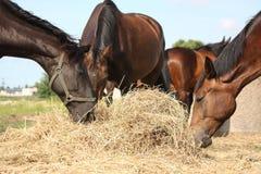 Flock av bruna hästar som äter torrt hö Arkivfoto