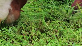 Flock av bruna vita kor på en äng Jordbruksmark i tirol ?sterrike stock video