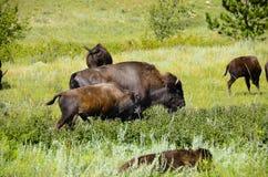 Flock av buffeln arkivbild
