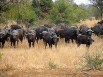 Flock av buffeln Fotografering för Bildbyråer