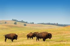 Flock av buffeln arkivfoton