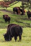 Flock av buffeln Royaltyfria Bilder