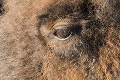 Flock av buffeln royaltyfri bild
