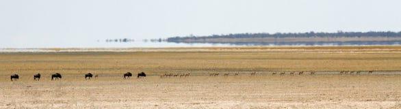 Flock av buffeln och impalan som korsar ett kargt ökenlandskap Royaltyfria Bilder