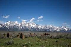 Flock av buffeln på den storslagna Teton nationalparken Royaltyfria Bilder