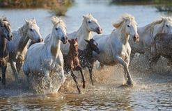Flock av Camargue hästar i reserven arkivbilder