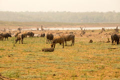 Flock av cows're som går på floden därför att global uppvärmning och El Arkivbilder