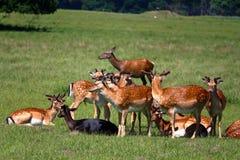 Flock av deers Arkivbilder
