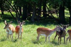 Flock av deers Fotografering för Bildbyråer