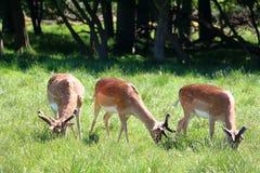 Flock av deers Arkivfoto