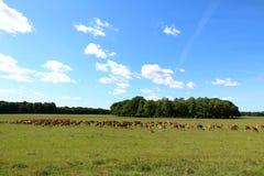 Flock av deers Royaltyfria Bilder