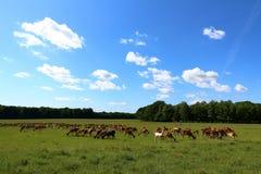 Flock av deers Royaltyfria Foton