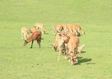 Flock av deers royaltyfri bild