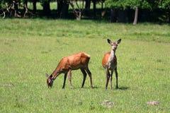 Flock av deers Royaltyfri Foto