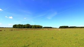 Flock av deers Royaltyfri Fotografi