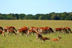 Flock av deers Arkivbild