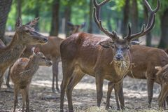 Flock av deers i zoo arkivbild