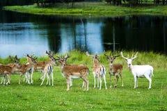 Flock av Deers på fält royaltyfri fotografi