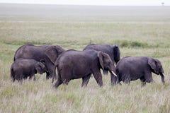 Flock av den afrikanska elefanten Arkivfoto