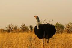 Flock av den afrikanska manliga strutsen royaltyfri fotografi