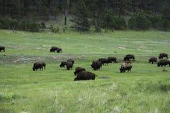 Flock av den amerikanska buffeln i Custer State Park royaltyfri bild