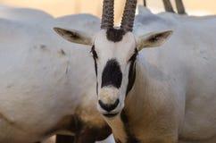 Flock av den arabiska oryxantilopet royaltyfri bild