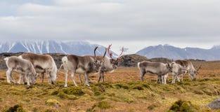 Flock av den arktiska renen Royaltyfri Fotografi
