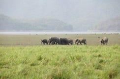 Flock av den asiatiska elefantinflyttningDhikala grässlätten Arkivbilder
