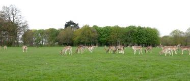 Flock av den dovhjort-/Damadamaen som betar på gräs i en äng royaltyfri fotografi