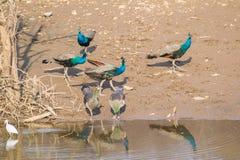 Flock av den indiska peafowlen på vattenhålet royaltyfria foton