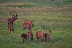 Flock av den nobla hjortcervidaen Graze On en grön äng med maskrosor Åtta röda hjortar för olika åldrar: En fullvuxen hankronhjor royaltyfri foto