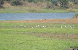 Flock av den Openbilled storken eller asiatet som är öppna på kusten av våtmark royaltyfria bilder