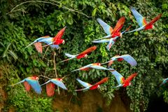Flock av den röda papegojan i flykten Araflyg, grön vegetation i bakgrund Röd och grön ara i den tropiska skogen, Peru arkivbilder