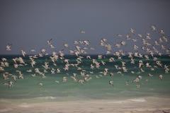 Flock av den SeagullsGalu stranden Kenya Arkivfoton